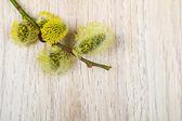 Gren av get-willow — Stockfoto