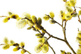 Branches of goat-willow — Stock Photo