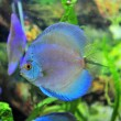 South american discus fish - Stock Photo