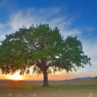 Tree in a field summer — Stock Photo