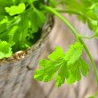 Parsley plant — Stock Photo #21705319