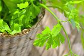 Parsley plant — Stock Photo