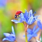 enda nyckelpiga på Violetta blommor — Stockfoto