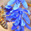 Bee feeding on blue flower — Stock Photo