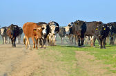 Cattle of young cows — Fotografia Stock