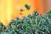Fresh Thyme — Stock Photo