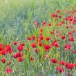 Field of Corn Poppy Flowers — Stock Photo