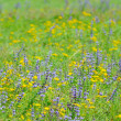 Thyme flowers on field — Stock Photo