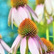 Pink Echinacea flowers — Stock Photo
