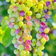 Unripe grapes — Stock Photo #29878045