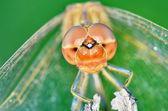 Dragonfly (Crocothemis erythraea) — Stock Photo