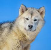 Greenland dog — Stock Photo