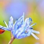 nyckelpiga på blomma — Stockfoto
