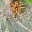 Spider in its web nest — Stock Photo