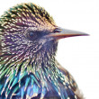 Stock Photo: Close up of Starling
