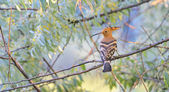 eurasian hoopoe (Upupa epops) — Stock Photo