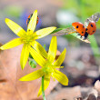 Ladybugs on spring flowers — Stock Photo