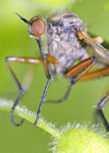 Robber fly insect — Stock Photo