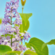 Green branch with spring lilac flowers — Stock Photo #46010025