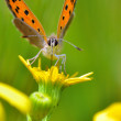 Boloria aquilonaris (Cranberry Fritillary) butterfly — Stock Photo