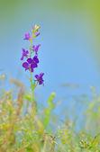 Consolida ajacis flower — Stock Photo