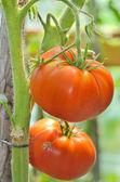 Ripe garden tomatoes — Stock Photo