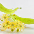 Linden flowers — Stock Photo