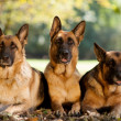 German Shepherds in a park — Stock Photo
