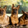 German Shepherds in a park — Stock Photo #31514053