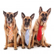 Three Business dogs — Stock Photo