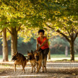 Woman is dog sitting with three german shepherds — ストック写真