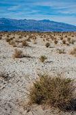 Desert Plants in Death Valley — Stock Photo