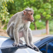 Male Bonnet Macaque on a Car Roof — Stock Photo
