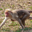 Bonnet Macaque Mother and Baby Running - Stock Photo