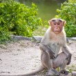 Male Bonnet Macaque — Stock Photo