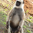 Stock Photo: Male Common Langur Relaxing
