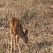 Baby Axis Deer Grazing in Bandipur National Park - Stock Photo