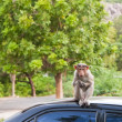 Bonnet Macaque on a Car Roof — Stock Photo