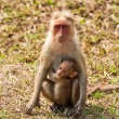 Bonnet Macaque Mother with Baby — Stock Photo
