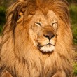 Stock Photo: Male Lion Sleeping
