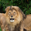 Lions in the Zoo — Stock Photo #13168000
