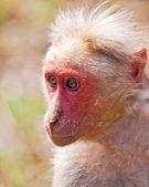 Bonnet Macaque Portrait — Stock Photo