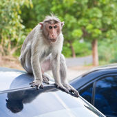 Male Bonnet Macaque on a Car Roof — Stockfoto