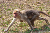 Bonnet Macaque Mother and Baby Running — Photo