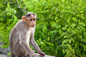 Bonnet Macaque on a Stone — Stock Photo