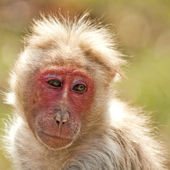 Bonnet Macaque Looking Back — Stock Photo