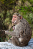 Bonnet Macaque Mother with Young — Stock Photo