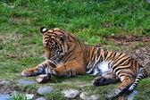 Tiger Cub Playing — Stock Photo