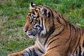 Cucciolo di tigre — Foto Stock