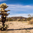 Jumping Cholla Cactus Panorama — Stock Photo
